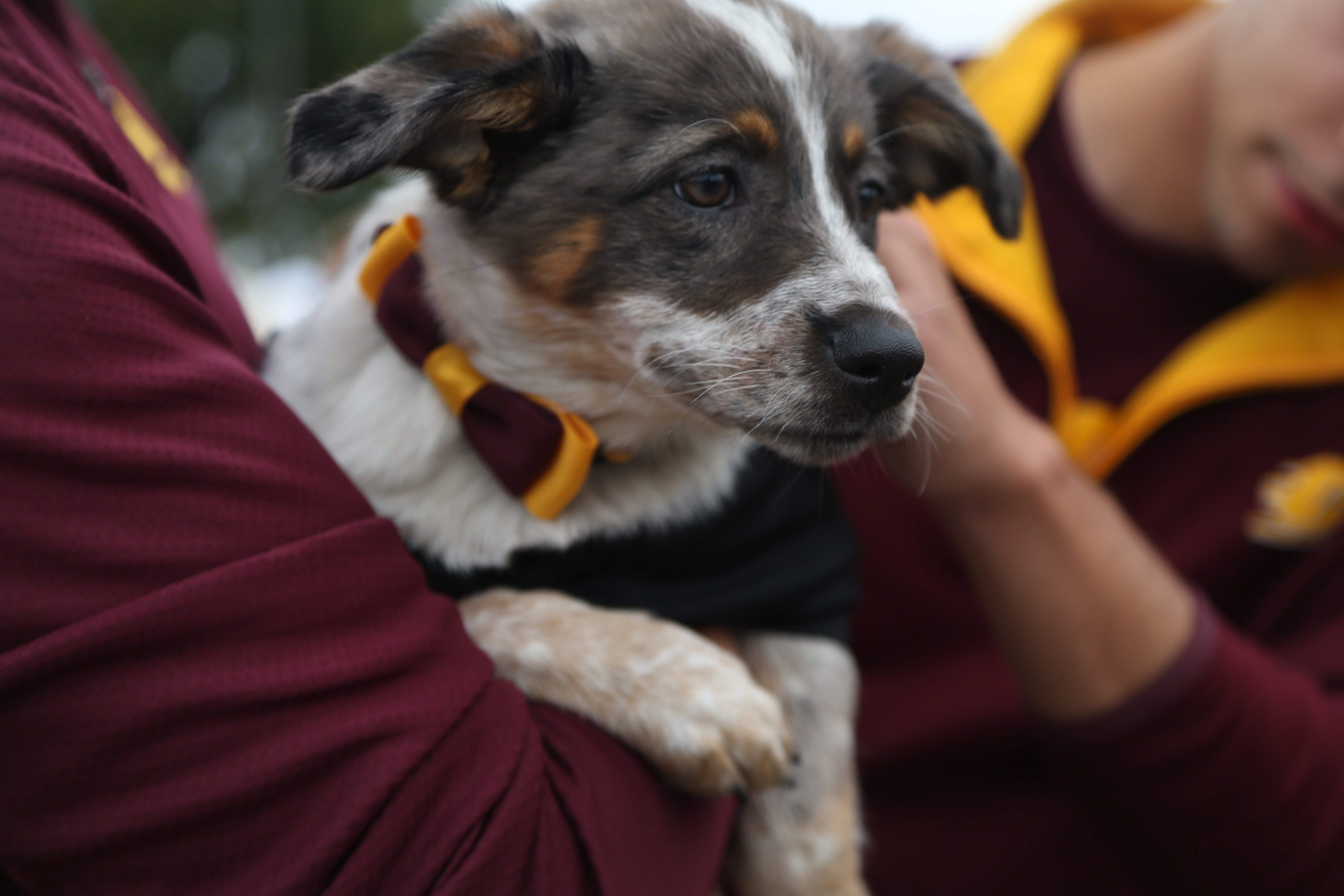 A playful pup shows off her chip pride at CMU fans cheer on the chips at the Central vs. Western football game at Kelly/ Shorts Stadium on Saturday, October 1, 2016.